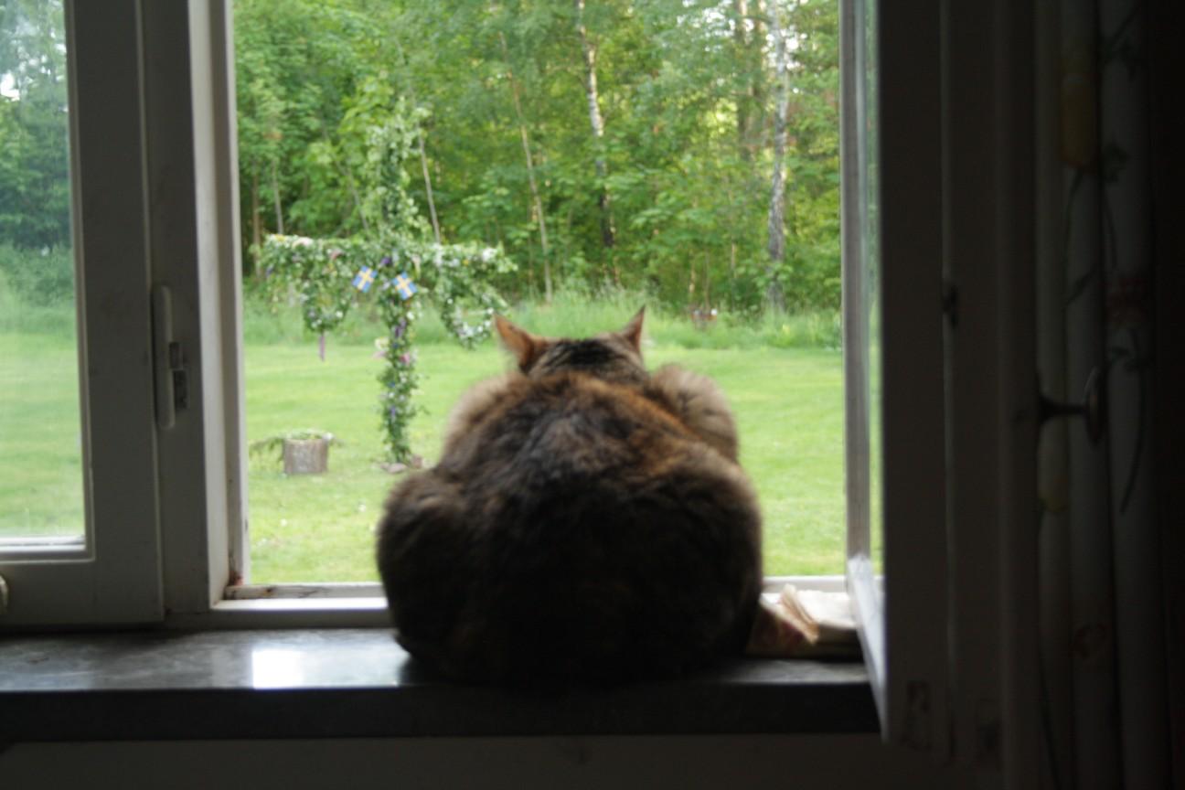 Min sambo granskar kritiskt, från sin upphöjda position i fönstret, midsommarstången i trädgården.